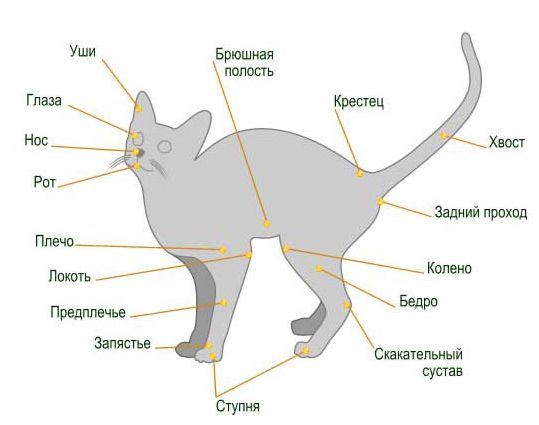 будова кішки