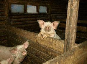 Будуємо ідеальний будинок для свиней