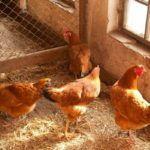 Окремі секції в курнику