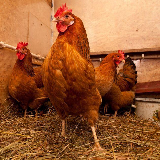 Кури в курнику на соломі