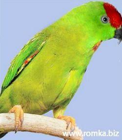 Сулавесскій красношапочний висячий попугайчікloriculus stigmatus
