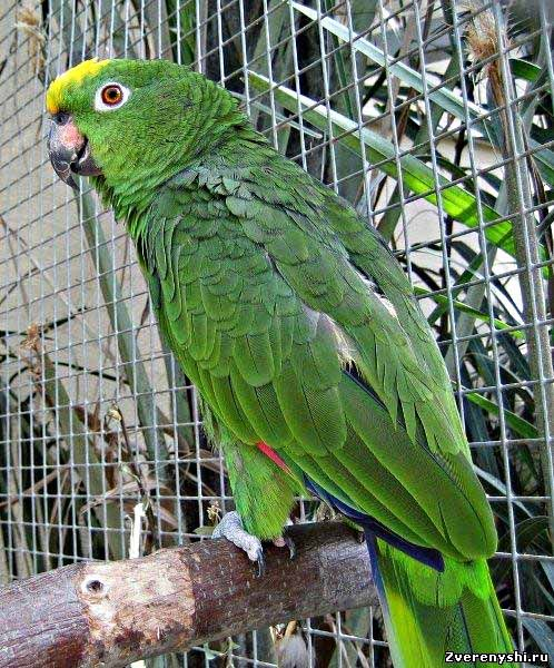 Суринамський амазонamazona ochrocephala