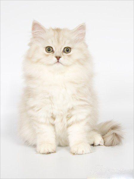 Весільний білий кошеня