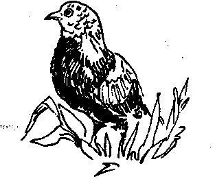 Свердловські (голуби)