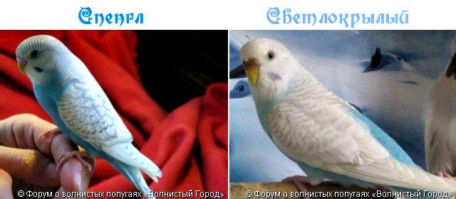 Птахи зі світлими крилами, блакитний ряд