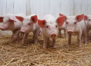Свині ландрас - прекрасно доповнять вашу ферму
