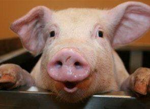 Свинка без нареченого: проводимо штучне запліднення
