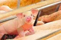 Свинарство як бізнес рентабельність бізнес-план