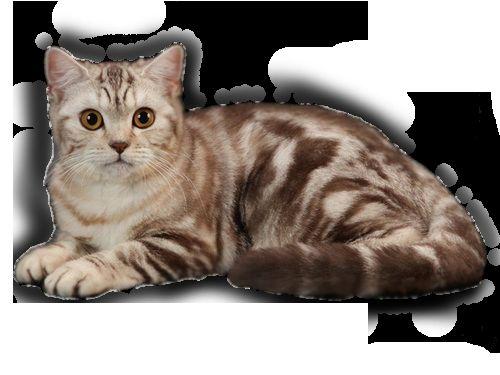 Таббі забарвлення британської кішки