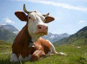 Таємниця коров`ячого шлунку