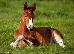 Таємниця народження коня: все про жеребости і пологах кобил