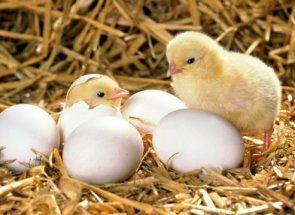 Таємниці народження курчат у курки-несучки