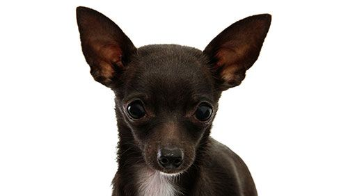 купірування вух собаці