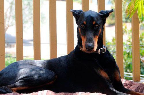 чи потрібно лікувати вуха собаці