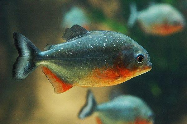 Такі небезпечні піраньї в вашому акваріумі