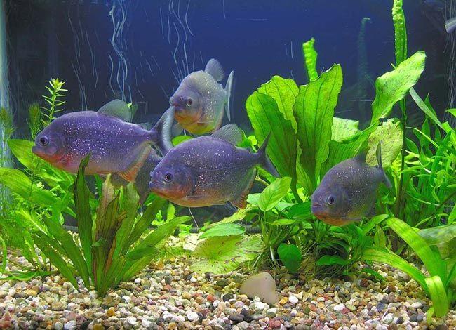 Невелика зграя в акваріумі