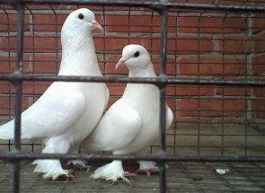 Такі різні бакинські бійні голуби