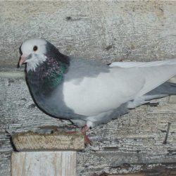 Бакинський бійню голуб сидить