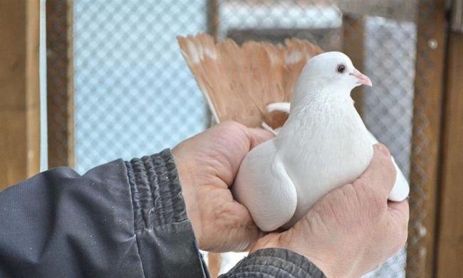 Бакинський бійню голуб в руках у заводчика