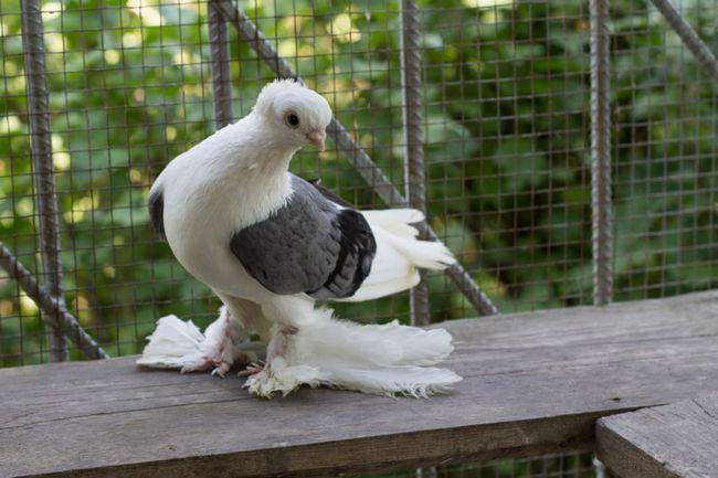 Триколірний Бакинський бійню голуб у вольєрі