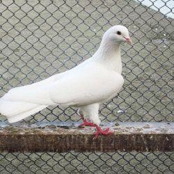 Бакинський голуб на жердині