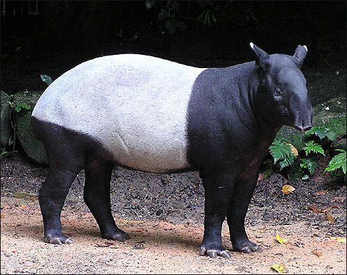 Тапіри (tapirus)