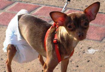 Тічка у собак дрібних порід: говоримо детально