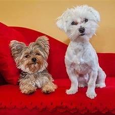 Тічка у собак: початок, тривалість