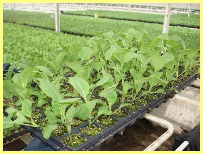 Технологія вирощування овочів: опис і фото