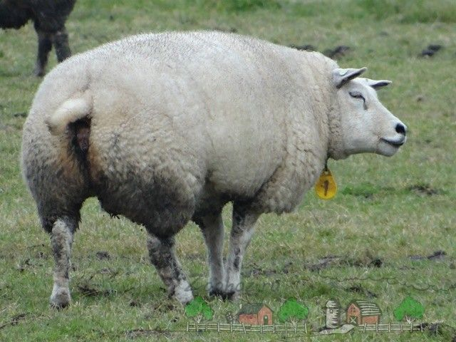 Тексель - мясошерстная порода овець з відмінними характеристиками