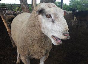 Тексель - одна з кращих м`ясних порід овець