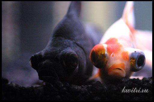Телескоп - акваріумна рибка
