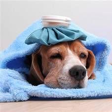 Температура тіла у собак