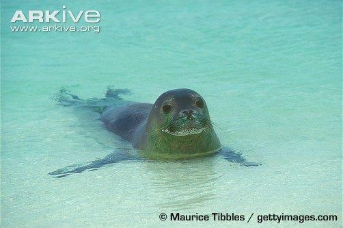 Тюлень-монах, або белобрюхий тюлень (monachus schauinslandi)