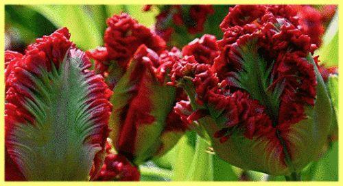 Тюльпани посадка і догляд у відкритому грунті