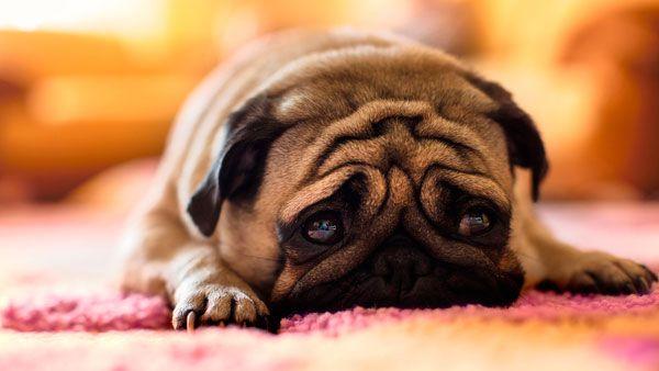 сумний пес