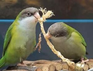 Толстоклювая папуга бурошапочний (bolborhynchus aymara)