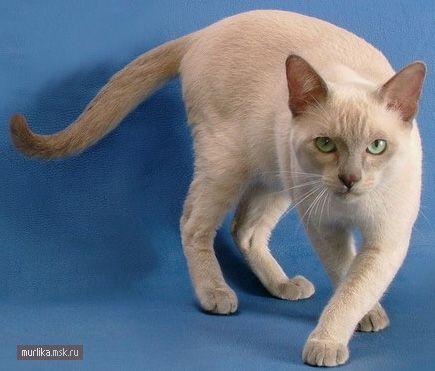 Тонкінез, Тонкінез порода кішки