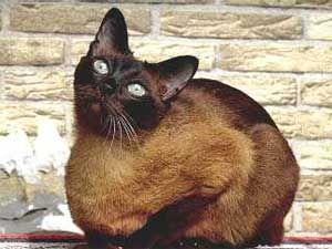 Тонкинская порода кішок. забарвлення Мінк