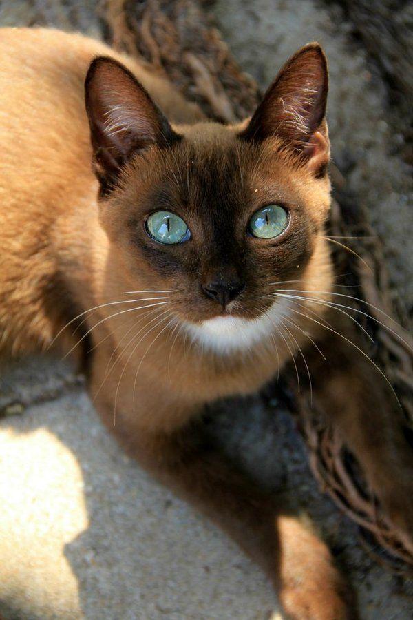 Кішки цієї породи не вибагливі у догляді