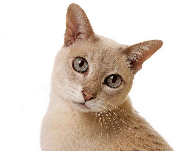 Кішка тонкинской породи відмінний компаньйон