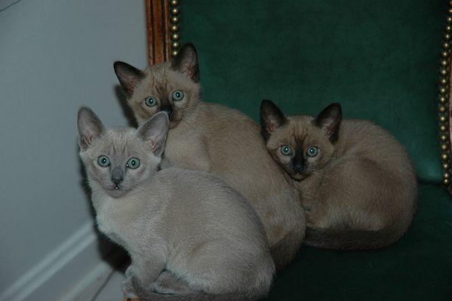 Кошенята тонкинской породи