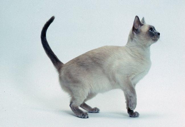 Кішки тонкинской породи мають кілька типів забарвлення