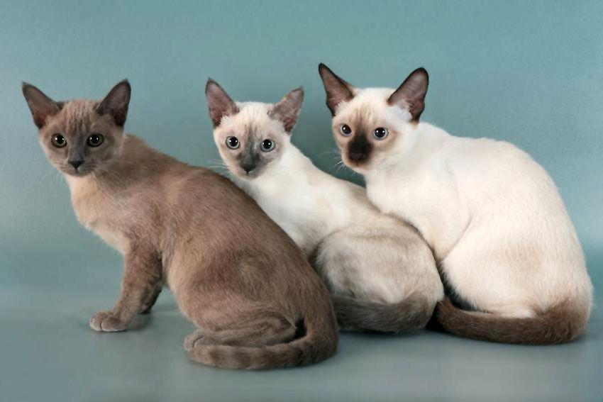 Тонкінез порода кішок