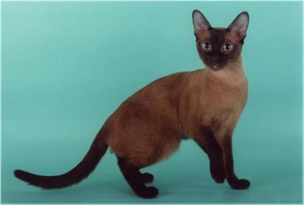тонкинская порода кішок, тонкінська фото