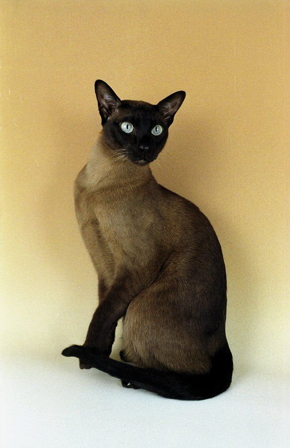 Історія створення тонкинской кішки заплутана і цікава