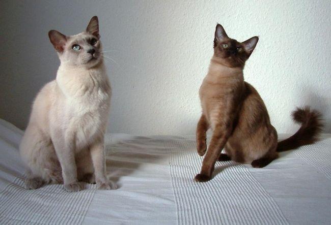 Кішки тонкинской породи були отримані шляхом гібридизації