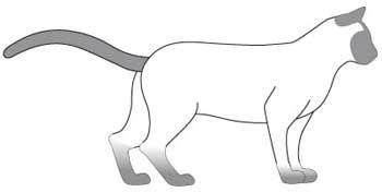 Тонкинская порода кішок. тіло
