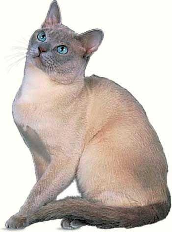 Тонкинская порода кішок.