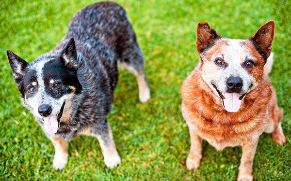 Топ-10: найрозумніші породи собак в світі
